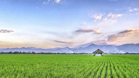 Very vast, broad, extensive, spacious rice field, streched into the horizon. And also hut in the middle of rice field.  Behind it is a line of hills and Royalty Free Stock Photos