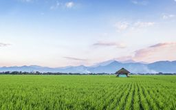 Very vast, broad, extensive, spacious rice field, streched into the horizon. And also hut in the middle of rice field.  Behind it is a line of hills and Stock Photography