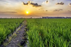 Very vast, broad, extensive, spacious rice field, streched into the horizon. And also two huts in the middle of rice field.  Behind it is a line of houses that Royalty Free Stock Photography