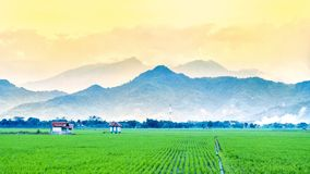 Very vast, broad, extensive, spacious rice field, streched into the horizon. And also two huts in the middle of rice field.  Behind it is a line of hills and Stock Images