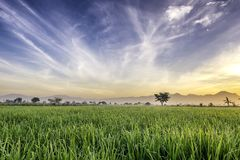 Very vast, broad, extensive, spacious rice field, streched into the horizon. Behind it is a line of hills and mountains that also expansive. Lonely tree in Royalty Free Stock Photo