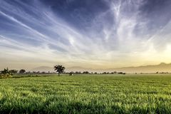 Very vast, broad, extensive, spacious rice field, streched into the horizon. Behind it is a line of hills and mountains that also expansive.  Group of tree Stock Photography