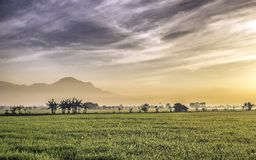 Very vast, broad, extensive, spacious rice field, streched into the horizon. Behind it is a line of hills and mountains that also expansive.  Group of tree Stock Images