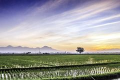 Very vast, broad, extensive, spacious rice field, streched into the horizon. Behind it is a line of hills and mountains that also expansive. Lonely tree in Stock Images