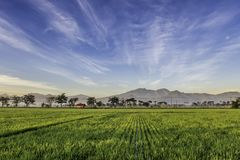 Very vast, broad, extensive, spacious rice field, streched into the horizon. Behind it is a line of hills and mountains that also expansive.  Group of tree Stock Photo