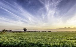 Very vast, broad, extensive, spacious rice field, streched into the horizon. Behind it is a line of hills and mountains that also expansive.  Group of tree Royalty Free Stock Images
