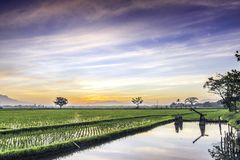 Very vast, broad, extensive, spacious rice field, streched into the horizon. Lonely tree in far away, and beautiful cloud and blue sky. This photo captured at Royalty Free Stock Photos