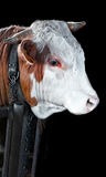 A very sad cow. A chained sad cow just waiting to be eaten. Isolated on a black background stock image