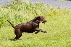 Very wet Brown labrador running with a stick Stock Photography