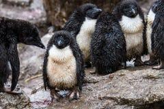 Very wet Rockhopper Penguin chicks royalty free stock photos