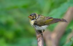 Very wet Wood Warbler perched and drain herself on a stick stock image