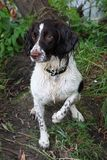 A very wet working type english springer spaniel Stock Photography