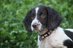 A very wet working type english springer spaniel Royalty Free Stock Images