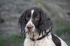 A very wet Working type english springer spaniel g Royalty Free Stock Images