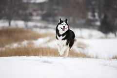 Very yappy blue-eyed Siberian husky runs through the snow. Very happy blue-eyed Siberian husky runs through the snow. Merry muzzle. Cheerful face Stock Photo