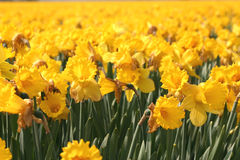 Very yellow Stock Image