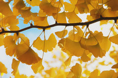 Very yellow gingo leaf Royalty Free Stock Image