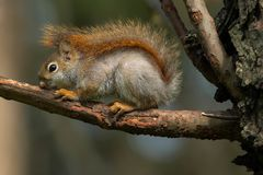 American Red Squirrel. Very young American Red Squirrel resting on a dead branch. Rosetta McClain Gardens, Toronto, Ontario, Canada Stock Image