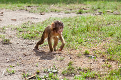Very young baby monkey in the nature Stock Photography