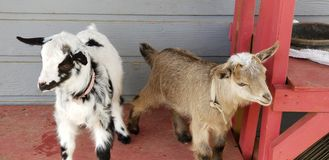 Pygmy goat kid munching on straw - Baby Goat - Capra aegagrus hircus. Very young baby pygmy goat kids with their mothers munching on straw. The domestic goat or royalty free stock photos