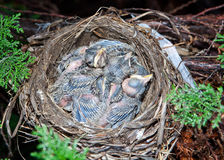 Very young baby robins. Very young baby robins, just days old, in their nest Royalty Free Stock Photo