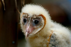 Very Young Barn Owl Royalty Free Stock Photography