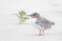 Very young common tern looking for mom. Royalty Free Stock Photo