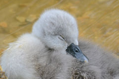 A very young cygnet sleeping Royalty Free Stock Image