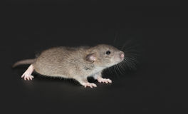 Very young domestic rat. On a black background Stock Photo