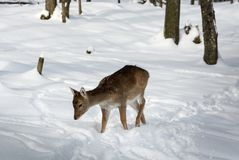 Very Young Fallow Deer Walking in the Snow royalty free stock photo