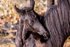 Very young foal on medaow Royalty Free Stock Image