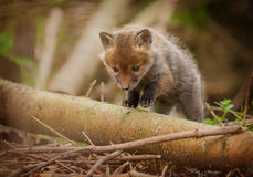 Very young fox cub out exploring Royalty Free Stock Images