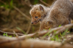 Very young fox cub with sibling Stock Photo