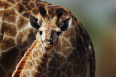 Very young giraffe staring fixed at the camera. In the comfort and protection of its mom. Giraffa camelopardalis Stock Image