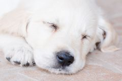 Very young golden retriever puppy is sleeping, portrait closeup Stock Photography