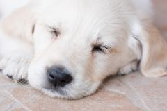 Very young golden retriever puppy is sleeping, portrait closeup Royalty Free Stock Photo