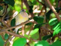 Very young Gouldian finch Stock Images