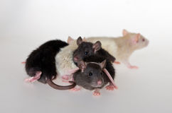 Very young infant rats. On a white background Stock Photo