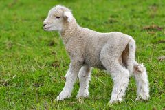 Very young lamb Royalty Free Stock Photo