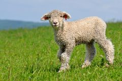 Very young lamb Royalty Free Stock Images