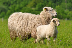 Very young lamb with its mum Royalty Free Stock Images