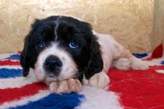 A very young Landseer ECT pup. A five weeks old female Landseer European Continental Type (ECT) lying on a British themed blanket showing her blue puppy eyes Royalty Free Stock Photography
