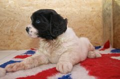A very young Landseer ECT pup. A five weeks old female Landseer European Continental Type (ECT) lying on a British themed blanket showing her blue puppy eyes Stock Photos