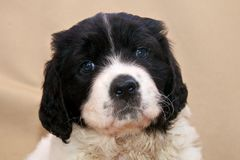 A very young Landseer ECT pup. A four weeks old female Landseer European Continental Type (ECT) showing her still blue puppy eyes to make everybody's heart melt Royalty Free Stock Images