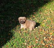 A very young Lhasa Apso puppy stands in an autumn meadow royalty free stock photo