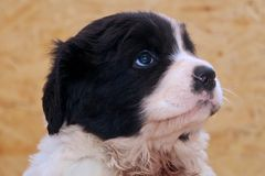 Very Young Male Landseer ECT pup. A five weeks old male Landseer European Continental Type (ECT) trying to melt somebodys heart with his blue puppy eyes Royalty Free Stock Photos