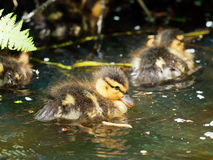 Very young Mallard - Anas platyrhynchos. Young cute Mallard duckling only a few days old Stock Images