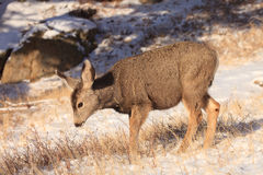 Very young mule deer fawn. In deep winter Stock Photo