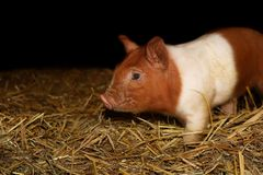 Very young piglet in the stable stock photography