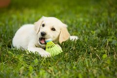 Very young puppy golden retriever dog lays on grass covered field, and plays with badminton ball. White fur puppy pet enjoys childhood in garden, playing with stock photo